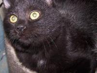Domestic Short Hair - Black - Seth - Medium - Young -
