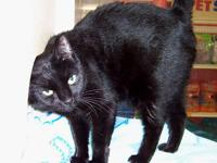 Domestic Short Hair - Black - Shadow - Medium - Adult -