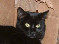 Domestic Short Hair - Black - Sheba - Large - Adult -