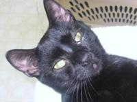 Domestic Short Hair - Black - Sheik - Medium - Young -