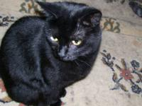 Domestic Short Hair - Black - Shelley - Medium - Young