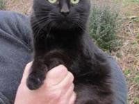 Domestic Short Hair - Black - Sicily - Small - Adult -