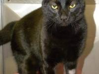 Domestic Short Hair - Black - Simba*at Petsmart* -