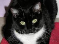 Domestic Short Hair - Black - Snickers - Medium - Adult