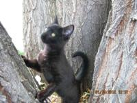 Domestic Short Hair - Black - Sniper - Small - Baby -
