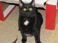 Domestic Short Hair - Black - Sooty - Medium - Young -