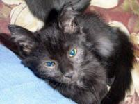 Domestic Short Hair - Black - Spaz - Small - Young -