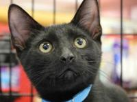 Domestic Short Hair - Black - Spencer - Medium - Baby -