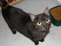 Domestic Short Hair - Black - Spice - Medium - Young -
