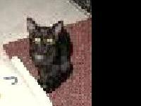Domestic Short Hair - Black - Spooks - Small - Adult -