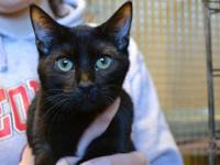 Domestic Short Hair - Black - Spud - Small - Young -
