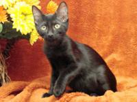 Domestic Short Hair - Black - Squeekers - Medium -