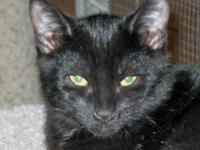 Domestic Short Hair - Black - Starling - No Fee! -