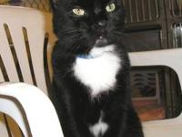 Domestic Short Hair - Black - Starr - Small - Adult -