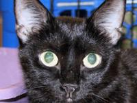 Domestic Short Hair - Black - Storm - Medium - Young -
