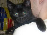 Domestic Short Hair - Black - Taz (tadpole) - Small -