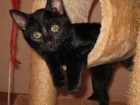 Domestic Short Hair - Black - Tommy - Large - Baby -
