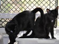 Domestic Short Hair - Black - Trudy - Medium - Young -