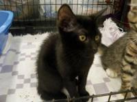 Domestic Short Hair - Black - Tucky - Medium - Baby -