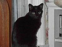 Domestic Short Hair - Black - Twilight - Medium - Adult
