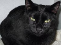 Domestic Short Hair - Black - Valentine - Medium -