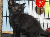 Domestic Short Hair - Black - Vegas - Medium - Baby -