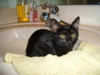 Domestic Short Hair - Black - Velvet - Medium - Young -