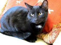 Domestic Short Hair - Black - Vespa - Medium - Adult -