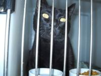 Domestic Short Hair - Black - Wilbur - Large - Adult -