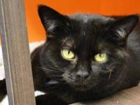 Domestic Short Hair - Black - Wilma - Small - Adult -