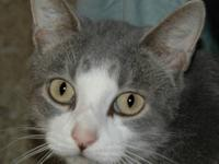 Domestic Short Hair - Blaze - Medium - Adult - Male -