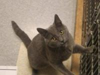 Domestic Short Hair - Blaze - Small - Adult - Male -