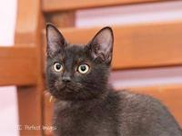 Domestic Short Hair - Blinky - Small - Baby - Male -