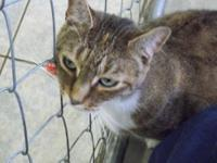 Domestic Short Hair - Blossom - Large - Senior - Female