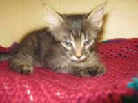 Domestic Short Hair - Bobby - Small - Baby - Male -