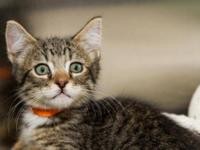 Domestic Short Hair - Bobcat - Small - Baby - Male -