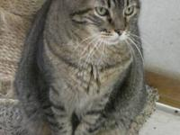 Domestic Short Hair - Booker - Medium - Adult - Male -