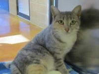 Domestic Short Hair - Bootsy - Medium - Adult - Female
