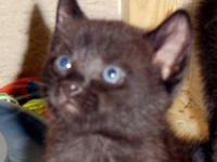 Domestic Short Hair - Boppy - Medium - Young - Male -