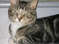 Domestic Short Hair - Brian - Medium - Young - Male -