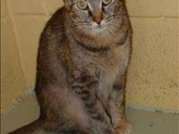 Domestic Short Hair - Brittney - Medium - Adult -