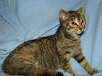 Domestic Short Hair - Bronwyn - Medium - Young - Female