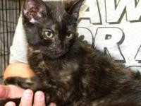 Domestic Short Hair - Brooke - Medium - Baby - Female -