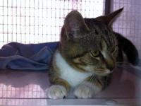 Domestic Short Hair - Brown - Buttercup - Medium -