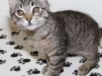 Domestic Short Hair - Brown - Callahan - Small - Baby -