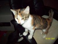 Domestic Short Hair - Brown - Clarissa - Medium - Young