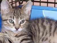 Domestic Short Hair - Brown - Ellis - Small - Baby -