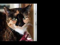 Domestic Short Hair - Brown - Esmeralda - Large - Adult