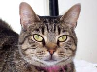 Domestic Short Hair - Brown - Jewel - Small - Young -
