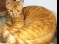 Domestic Short Hair - Bruce - Small - Young - Male -